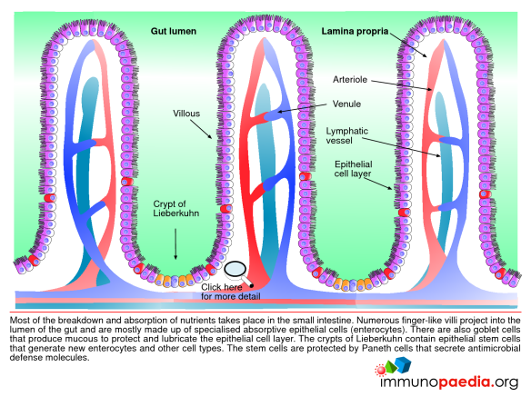 Ethanol moves from the lumen of the GI tract, into the enterocyte, then into the veins supplying the gut, which drain into the liver as the portal circulation.